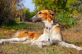 Russian wolfhound (borzoi) lying in autumn garden. Outdoors.