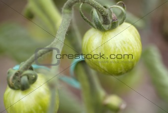 Green Zebra tomatoes growing on the vine.
