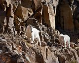 mountain Goats