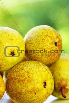 Mature rocha pears.