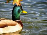 mallard duck close up