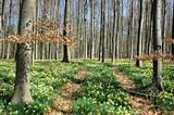 Forest covered with a daffodils carpet