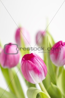 Close up of a pink tulip flower with others behind