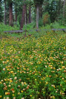 Wildflowers - Glacier National Park