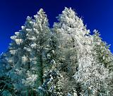winter spruce