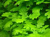 Oak Green leaves