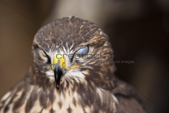 blind buzzard