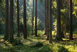Old coniferous stand of Bialowieza Forest in summer morning