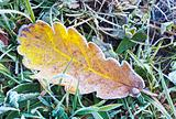 Dry oak  leaf with hoarfrost