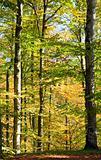 autumn beech forest