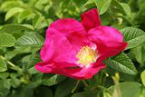 beautiful dog rose