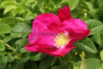 beautiful dog rose