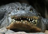 Alligator head front