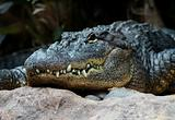 Alligator head closeup 