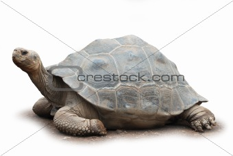 Big turtle isolated