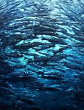 Crowded fish shoal