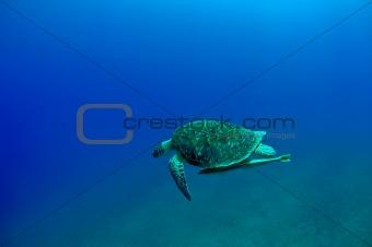 gren turtle