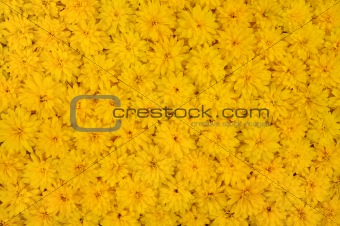 Group of Rudbeckia laciniata flower heads - yellow daisy background