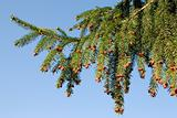 Fir branch over blue sky