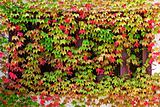 Window autumn clambering plant