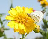 The beautiful yellow flower and the butterfly