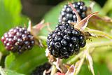 Blackberries bunch