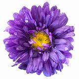 Aster Flower after the Rain Isolated