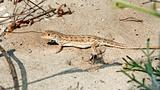 Lizard on the sand