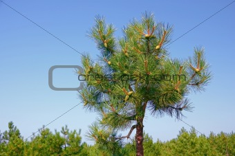 Top of pine tree