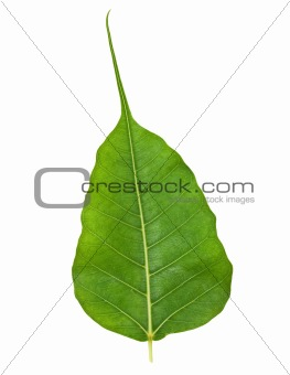 Bodhi or Sacred Fig Leaf Isolated