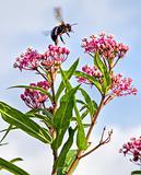 Honey Bee Landing