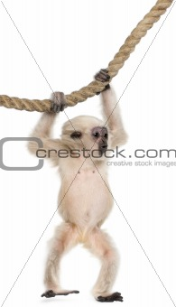 Young Pileated Gibbon, 4 months old, Hylobates Pileatus, hanging from rope in front of white background