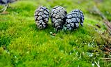 pinecones