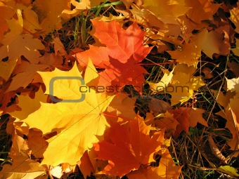 beautiful autumn leaves