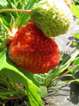 branch of fresh strawberries