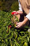 Pepper picking