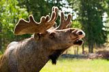 Close up of a moose