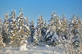 Winter snow-covered forests landscape