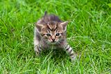 tabby in the grass