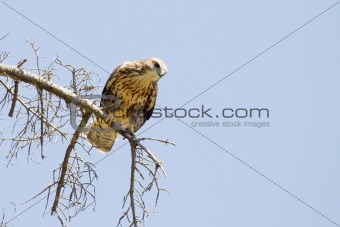 Buzzard on the Tree Branch