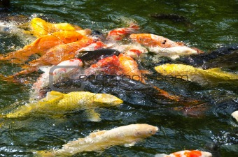 Japanese koi swimming in water
