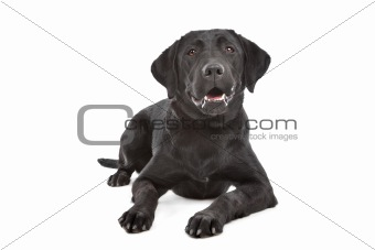 Black Labrador