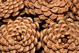 The pine cones