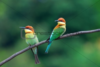 chestnut headed bee eater