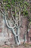 climbering tree at the old stone wall
