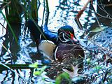 wood duck at pond's edge