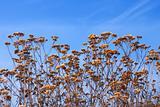 Dried yarrow flowers