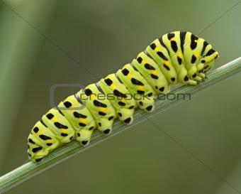 The big green caterpillar