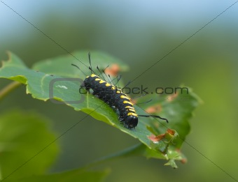 Striped black-yellow caterpillar