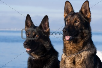 German Sheepdogs portrait over blue sea background